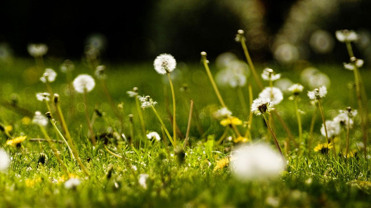 Weed Pollen