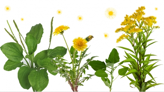 About Weed Pollen Allergies