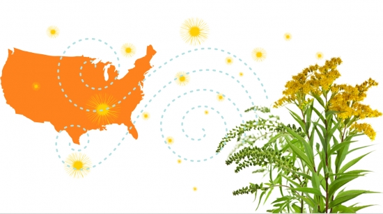 Ragweed pollen triggers allergies across the U.S.